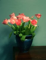 Pink Tulips and Blue Vase