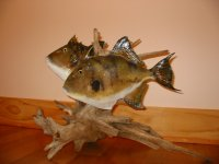 Two Gray Trigger Fish
