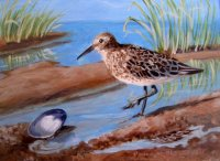 Sandpiper and Quahog Shell