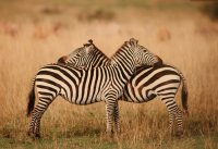 The Color of Zebras