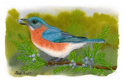 Flick Ford - Eastern Bluebird